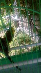 Par papagaja i kavez