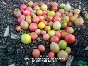 Paradajz ` Garden Pearl `/20 semenki