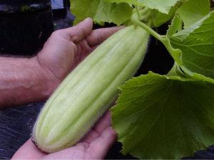 Krastavac ` Carosello Mezzo Lungo `/10 semenki