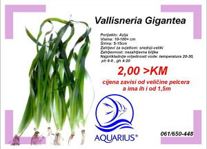 Vallisneria gigantea