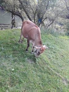Krave stoka