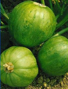 Krastavac `Carosello Mandurian` / 15 semena
