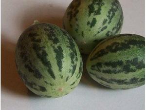 Cucumis callosus (Rottler) / 10 semena