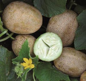 Krastavac ` Little Potato` / 5 semenki