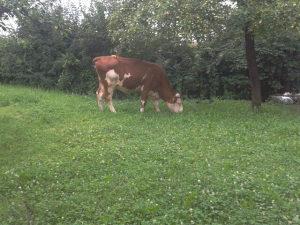 Krava na prodaju