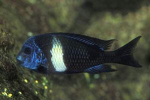 Ribica tropheus maswa muzjak 13 cm