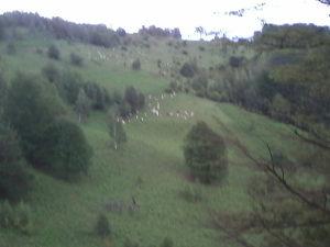 Posao - trazim cobana za cuvanje ovaca
