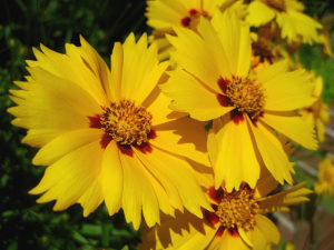 Coreopsis nuecensis (Picta Tickseed)/ 100 semena
