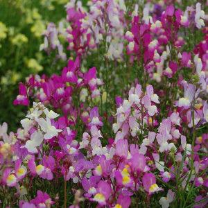Linaria maroccana `Fairy Bouquet`/ 1500 semenki