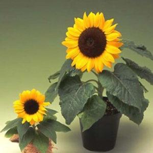 Suncekret `Big Smile` / 10 semenki
