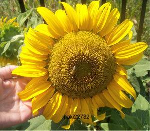 Suncokret ` Incredible ` / 10 semenki