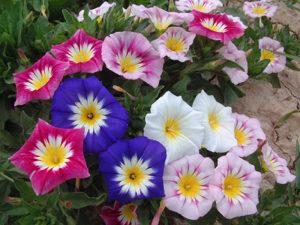 Convolvulus Tricolor / Niski Ladolež mix / 50 semena