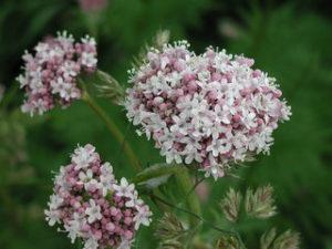 Valerijana / Valeriana officinalis / 50 semena