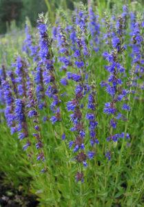 Hyssopus officinalis / Miloduh / 0,35gr semena