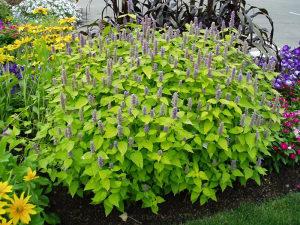 Agastache rugosa `Golden Jubilee` / 10 semena