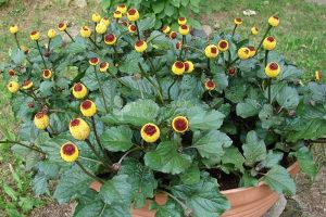 Spilanthes/ Toothache Plant / 30 semena