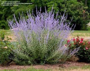 Perovskia atriplicifolia / Ruska žalfija / 20 semena