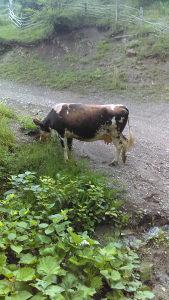 Stoka krava