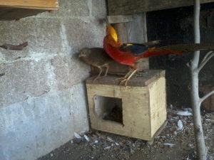 zlatni fazani par