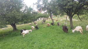Prodajem stado koza