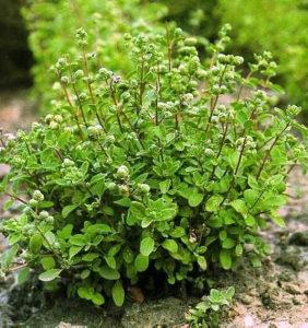 Majoran (Origanum majorana) 0,25 gr / 950 semena