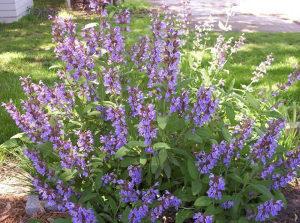 Salvia officinalis / Žalfija / 1gr- 120 - semena