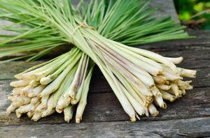 Cymbopogon / Lemongrass / Limun Trava 100 semena