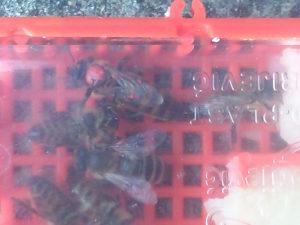 pčele MATICE  2019