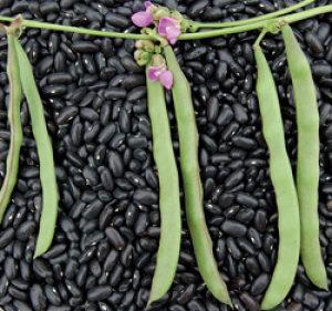 Čiroki Pasulj ` Cherokee Trail of Tears `/ 25 semena