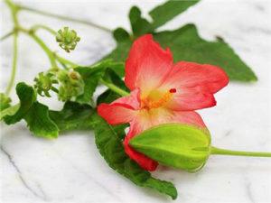 Pink `Okra` / Bamija / 5 semena