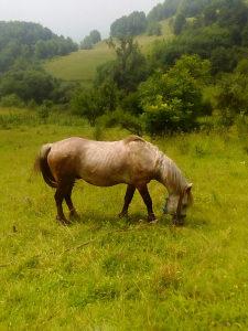 Konj Zdrebac