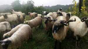 Ovce i ovnovi KURBANI