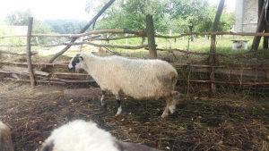 Ovca travnicka za kurbana