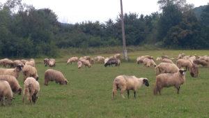 Janjci ovce ovnovi