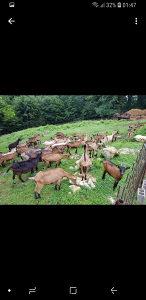 Alpska koza (alpina) prodaja