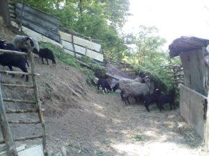 Romanovske ovce