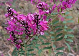 Indigofera australis / 10 semenki