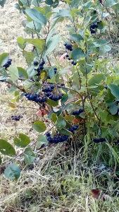 Aronija plod