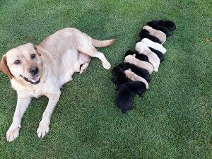 Labrador stenci