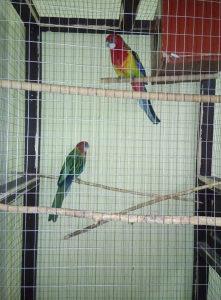 Papagaji rozele