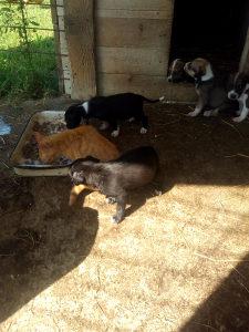 Prodajem stence mjesanac fox terijera i pitbul terijera