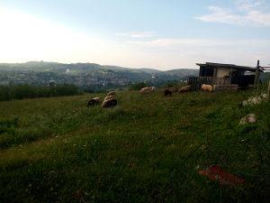 Prodajem ovce, mijesane, zdrave