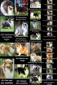 Škotski ovčar - štenci na prodaju