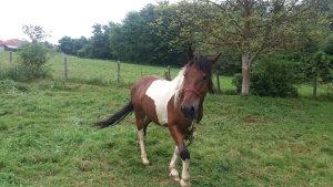 Konj Sarac