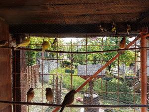 Kanarinci i kanarinke