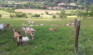 Stado koza