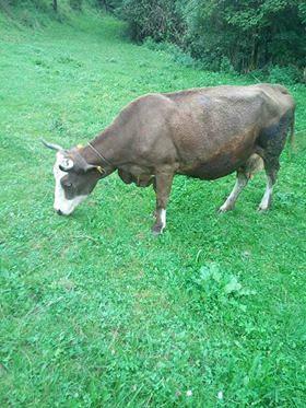 Krava za pripašu(stevana)