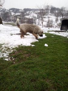 Ženka kavkaski ovčar moze zamjena ponudi