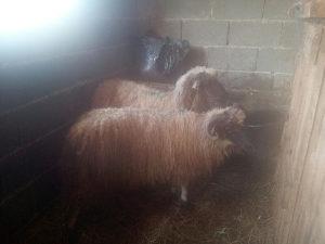 Ovan ovnici dva muska ovan ovca ovcu ovce