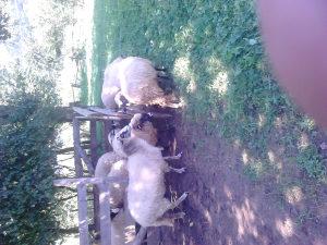 ovce za kurbane